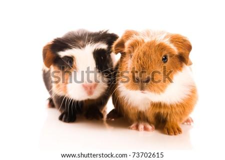 baby guinea pigs - stock photo