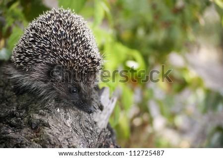 baby hedgehog at wild, blur background - stock photo