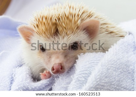 baby hedgehog is cute pet of child on blue blanket - stock photo