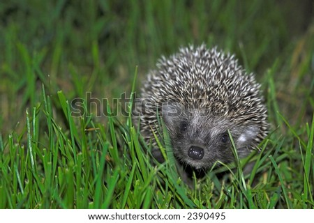 Baby hedgehog smiling at you. Surrounded by green grass. - stock photo