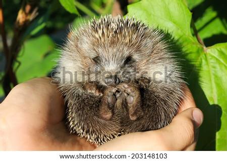 Baby hedgehogs in human hands - stock photo