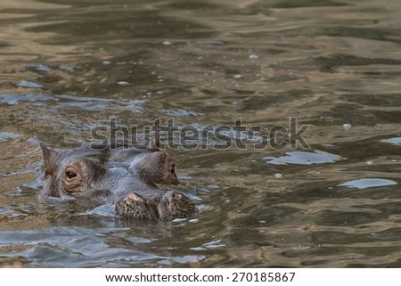 baby hippopotamus close up portrait - stock photo