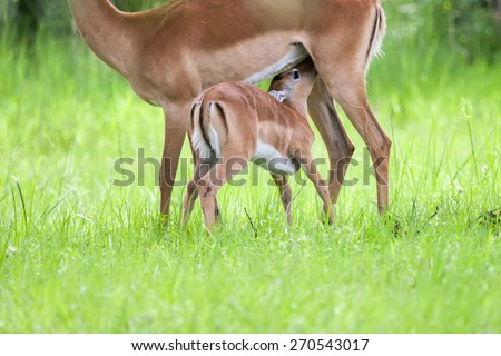 Baby impala drinking milk in Mosi-oa Tunya Nation Park, Zambia, Africa - stock photo