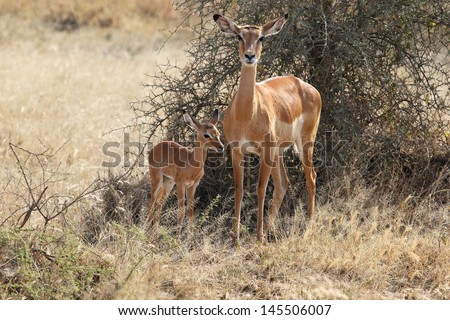 Baby impala with his mother (Aepyceros melampus) - stock photo