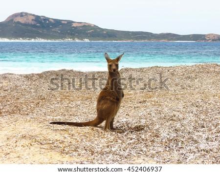 Baby kangaroo at Lucky Bay beach in Cape Le Grand National Park Australia - stock photo
