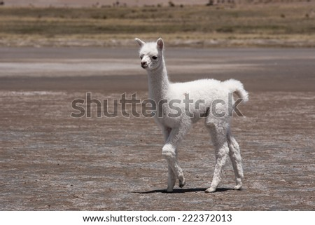 Baby lama in the andes, Peru - stock photo