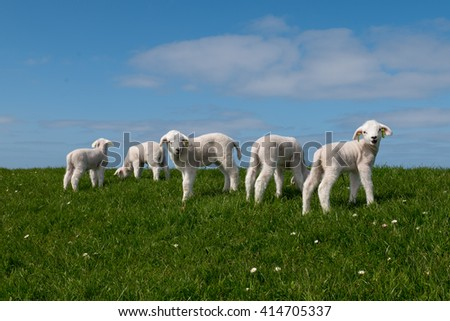 Baby lamb on green field with blue sky and other lambs and sheep - stock photo