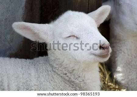Baby Lamb; single adorable baby lamb, seeming to smile - stock photo