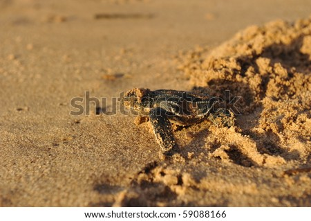 Baby Leatherback sea turtle crawling up the beach in order to reach the ocean - stock photo