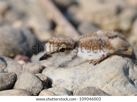 baby Little Ringed Plover, Charadrius dubius - stock photo