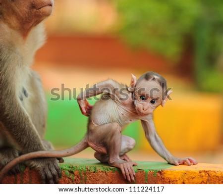Baby Macaque India (Banyan Tree Troop) - stock photo