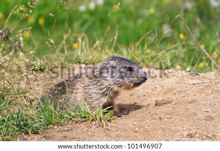 baby marmot stands out of her den in Alpine meadow - stock photo