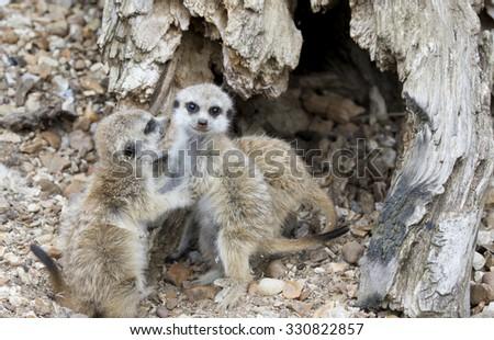 Baby Meerkats looking at the camera - stock photo