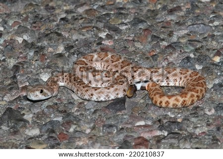 Baby Mojave Rattlesnake (Crotalus scutulatus). The Mojave Rattlesnake is considered by many to be the most deadly snake in the United States. - stock photo