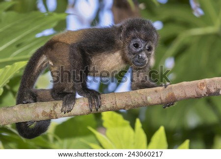 Baby montled howler monkey (Alouatta palliata) climbing tree branch in rainforest canopy, Cahuita national park, Limon, Costa Rica. - stock photo