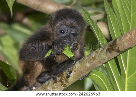 Baby montled howler monkey (Alouatta palliata) eating tree leaves in rainforest canopy, Cahuita national park, Limon, Costa Rica. - stock photo