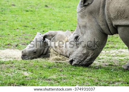 Baby & Mother Rhino - stock photo
