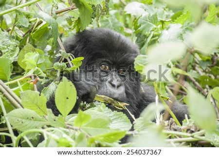 Baby Mountain Gorilla in Volcano National Park (Rwanda) - stock photo