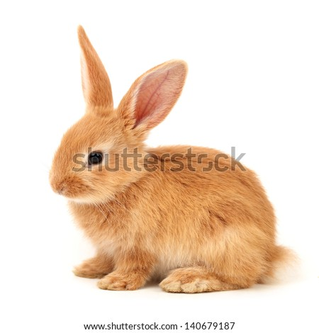 Baby of orange rabbit on white background - stock photo