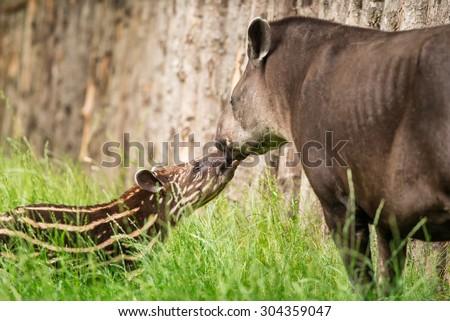 Baby of the endangered South American tapir (Tapirus terrestris), also called Brazilian tapir or lowland tapir with its mother - stock photo