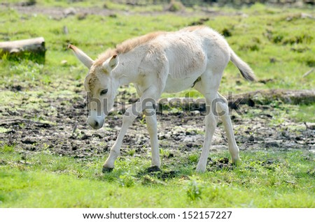 Baby onager (Equus hemionus) is a large member of the genus Equus of the family Equidae (horse family) native to the deserts of Syria, Iran, Pakistan, India, Israel. - stock photo