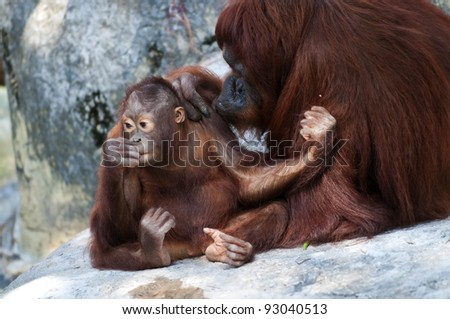 Baby orangutan and its mother sitting on the rock - stock photo
