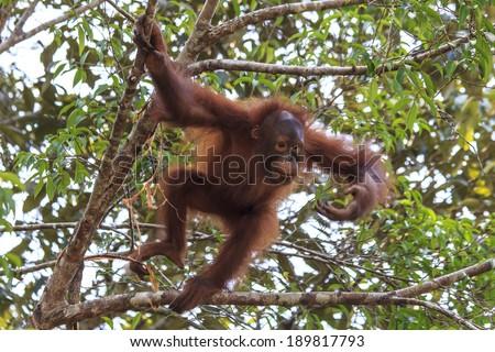 Baby Orangutan jumps in tree - stock photo