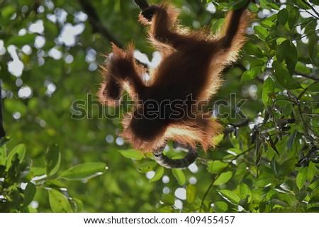 Baby orangutan (Pongo pygmaeus). The  cub silhouette of an orangutan in green krone of trees. Borneo, Indonesia. - stock photo