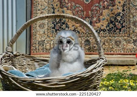 Baby Owl - stock photo