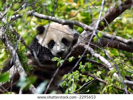 Baby Panda - stock photo