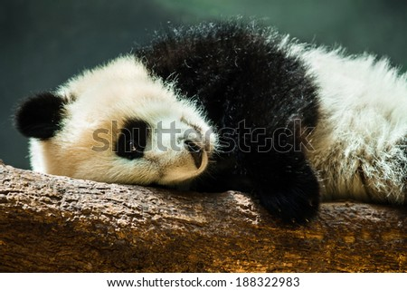 Baby panda cub resting on log - stock photo
