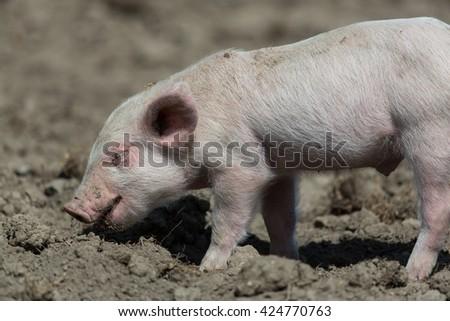 Baby pig standing on ground - stock photo