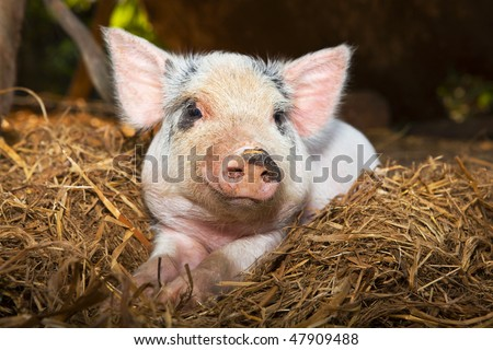 Baby piglet close up - stock photo