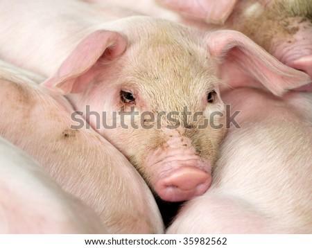 baby pigs - stock photo
