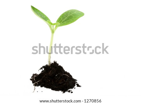 Baby plant in soil on white background - stock photo
