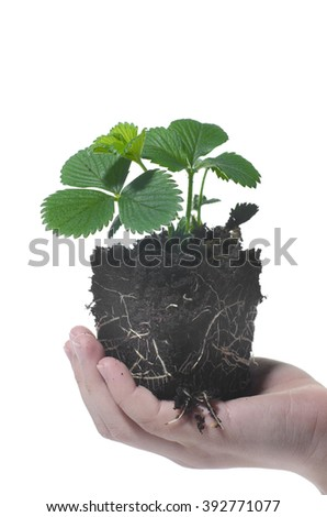 Baby Plant Strawberry in child hand - stock photo
