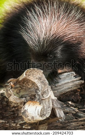 Baby Porcupine (Erethizon dorsatum) Behind Birch Curl - captive animal - stock photo