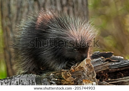 Baby Porcupine (Erethizon dorsatum) On Birch Branch - captive animal - stock photo
