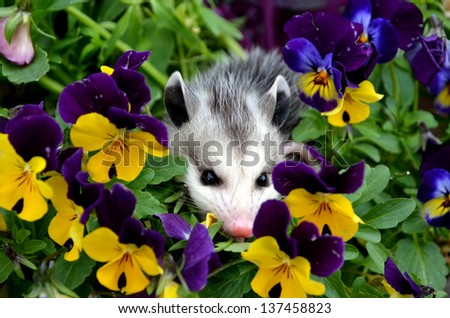 Baby Possum in Flower Pot - stock photo
