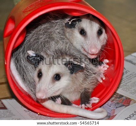 baby possums in a can - stock photo