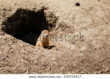 baby prairie dog by his den - stock photo