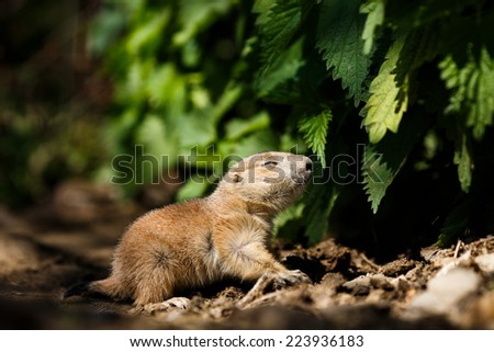 baby prairie dog searching for prey in autumn, very cute black tailed prairie dog (Cynomys ludovicianus)  - stock photo