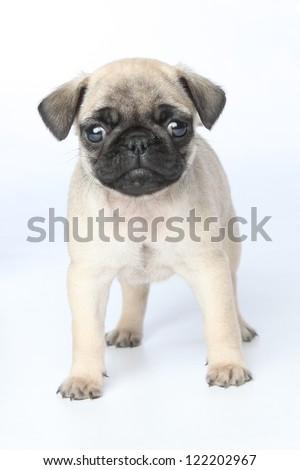 Baby Pug - stock photo