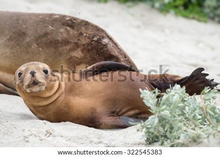 baby puppy australian sea lion in kangaroo island - stock photo