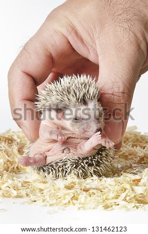 baby pygmy hedgehog - stock photo
