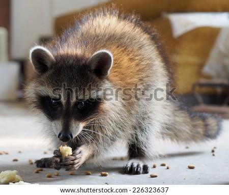Baby Raccoon Eating - stock photo