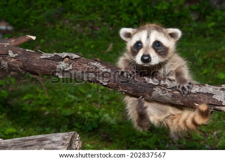 Baby Raccoon Learning to Climb - stock photo