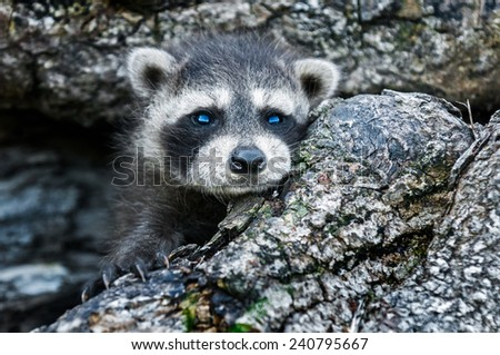 Baby Raccoon (Procyon lotor) Peeks Out of Log - captive animal - stock photo