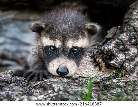 Baby Raccoon (Procyon lotor) Stares at Viewer - captive animal - stock photo