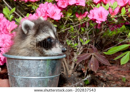 Baby Raccoon trying to hide in the garden. - stock photo